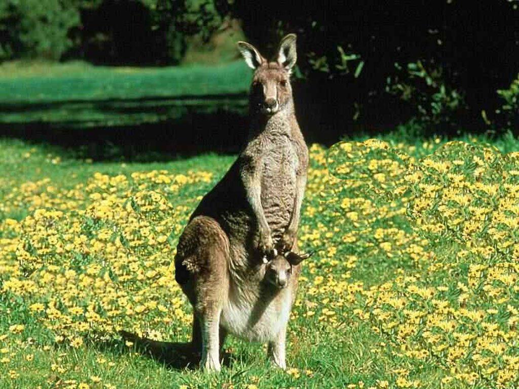 canguru 2
