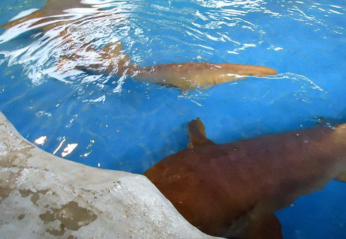 Os tubarões têm um tanque especial