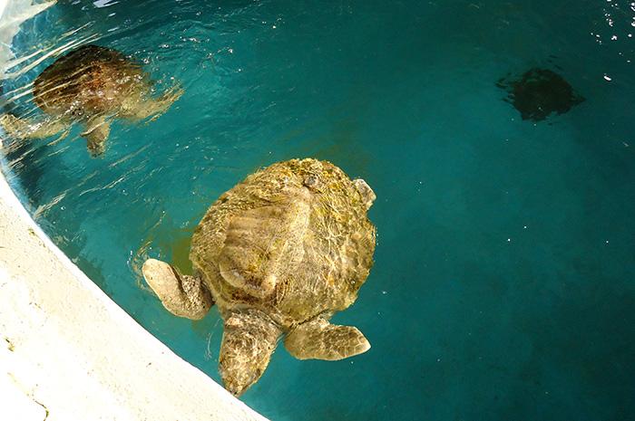 As tartaruguinhas nadam felizes no tanque do oceanário