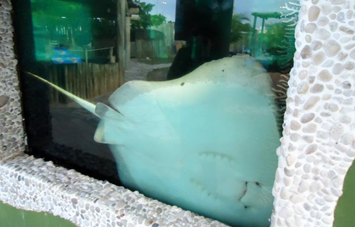 Arraias de vários tamanhos nadam no aquário