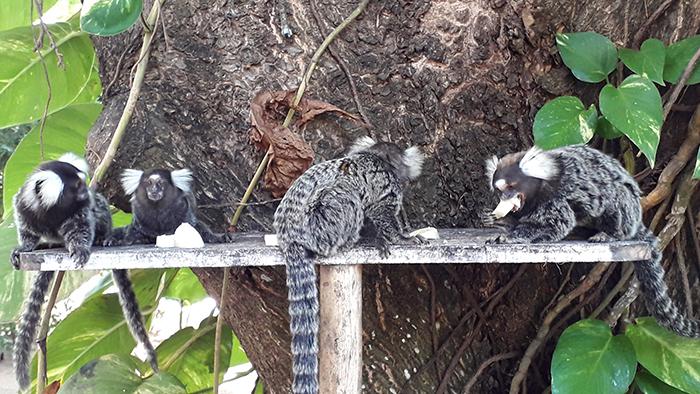 Saguis, na Pousada Vila Sagui, em Maragogi, Alagoas